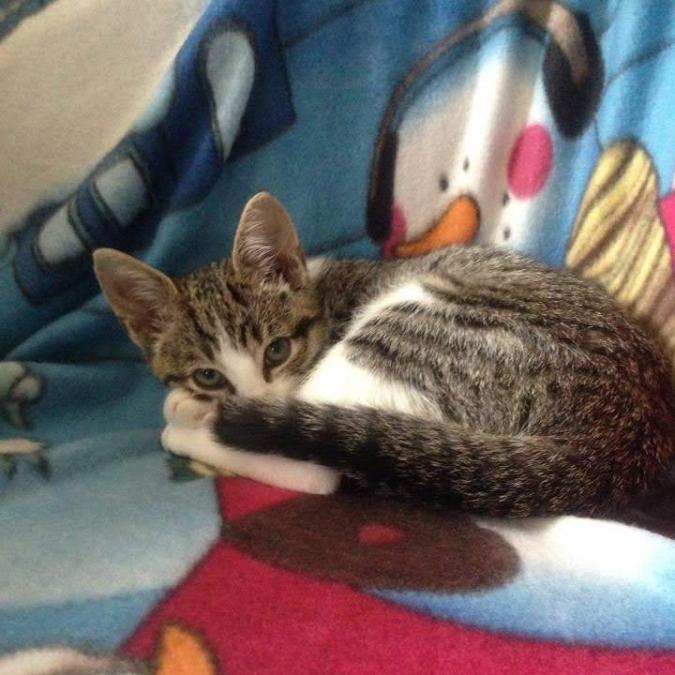 Dibely Kitten 3