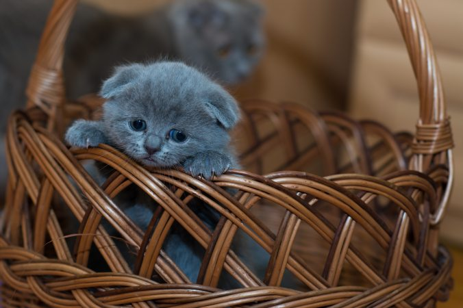 russian-blue-kitten-on-brown-woven-basket-127027